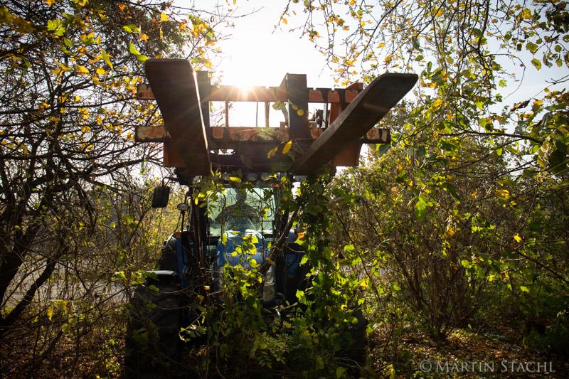 Bekämpfung des invasiven Götterbaums im Nationalpark Wien (Lobau)